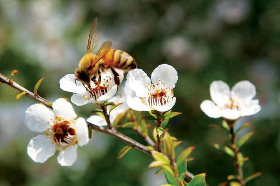 Mật ong Manuka,  Kéo dài dương thọ và sắc đẹp thanh xuân